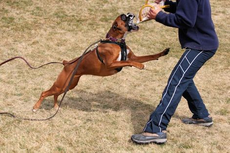RINGSPORT, SCHUTZHUND, PROTECTION!